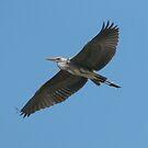 Grey heron in flight by pietrofoto