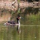 Great crested grebe with chicks by pietrofoto