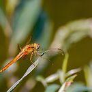 Dragonfly by pietrofoto