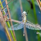 Young dragonfly by pietrofoto