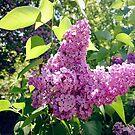 Flieder-Blüte von Gourmetkater