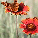 Fritillary Butterfly on Firewheel by Arla M. Ruggles