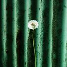 Dandelion no.2 by LAURANCE RICHARDSON