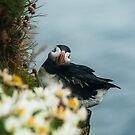 Papageientaucher an einer Klippe in Island von marinaweishaupt