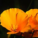 Poppies by Phillip M. Burrow