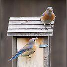 Blaue Vögel, die zu ihren Babys neigen von CarolM