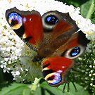 Peacock Butterfly by ienemien