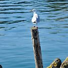 Seagull resting on a post by Richard Flint