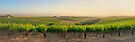 Golden Vineyard  panorama by Raymond Warren