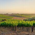 Golden Vineyard  panorama by Raymond Warren