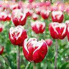 Tulpenregentropfen von Maria Dryfhout