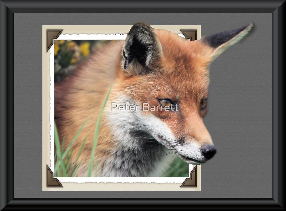 Framed Fox by Peter Barrett