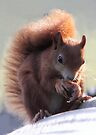 Red Squirrel by Peter Barrett
