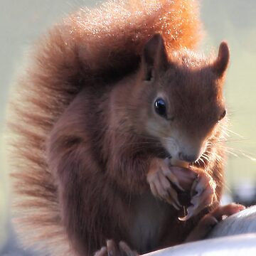 Red Squirrel by hartrockets