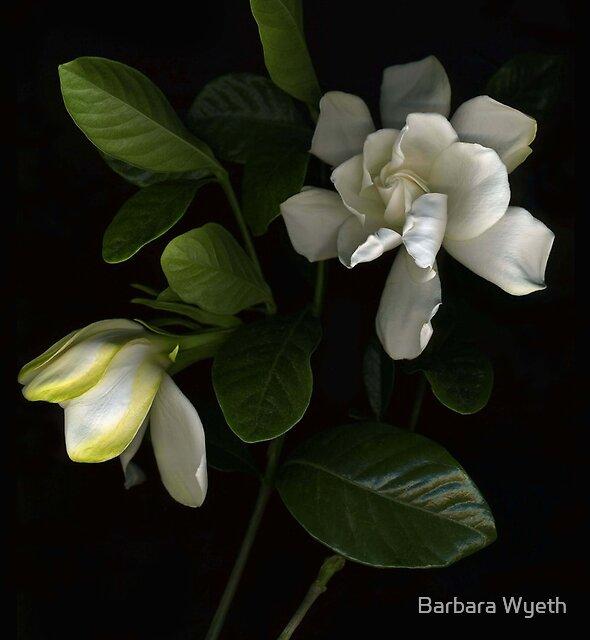 Gardenia Blooms by Barbara Wyeth
