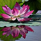 Lotus Reflection by Dave Lloyd