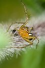 Oxyopes quadrifasciatus by Jason Asher