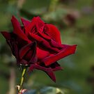 Dark Rose by Irina777