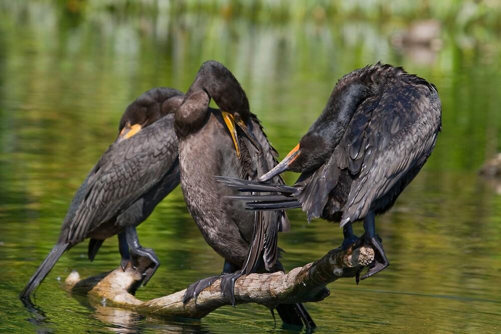 Three Cormorants  by Karen  Moore