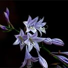 Hosta Bloom Take 1 by Robin Webster