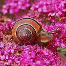 Snail in the pink by relayer51
