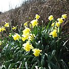 Cornish Daffodils (5867) by Tony Payne