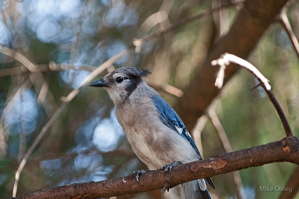 Bluejay by Mike Oxley
