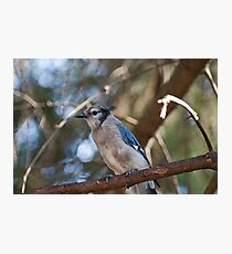 Bluejay Photographic Print
