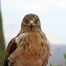 Ferruginous hawk portrait by Sherry Pundt
