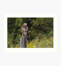 Light juvenile Red-tailed Hawk Art Print