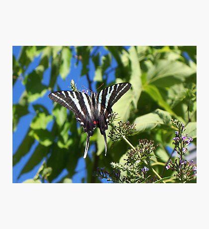 Flying Zebra Photographic Print