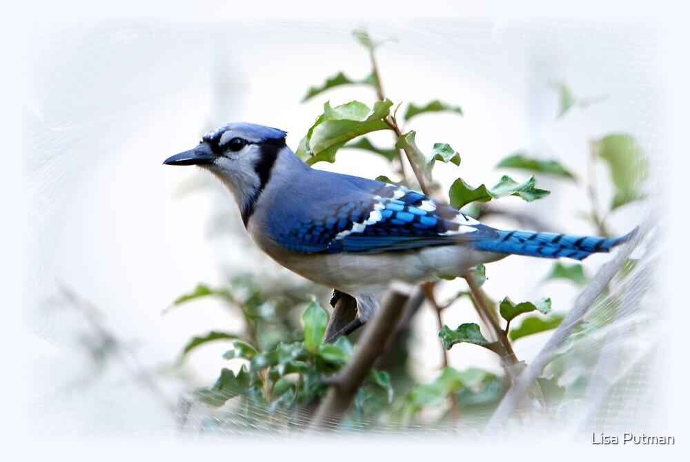 Blue Jay by Lisa G. Putman