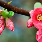 Flowering Quince by Malcolm Garth