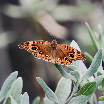 BUCKEYE BUTTERFLY by TomBaumker