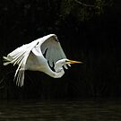 Great Egret in Flight by Dennis Stewart