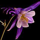 PURPLE AQUILEGIA...(Columbine flower) by RoseMarie747