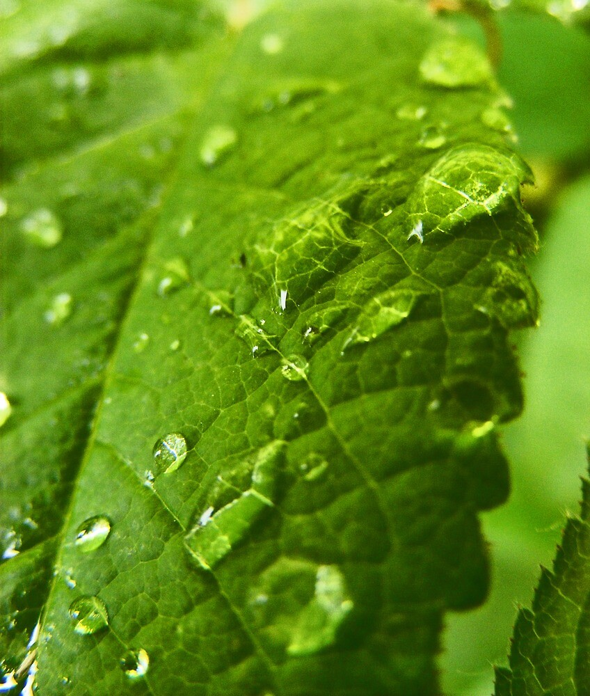 Raindrops on a leaf by Paul Hickson
