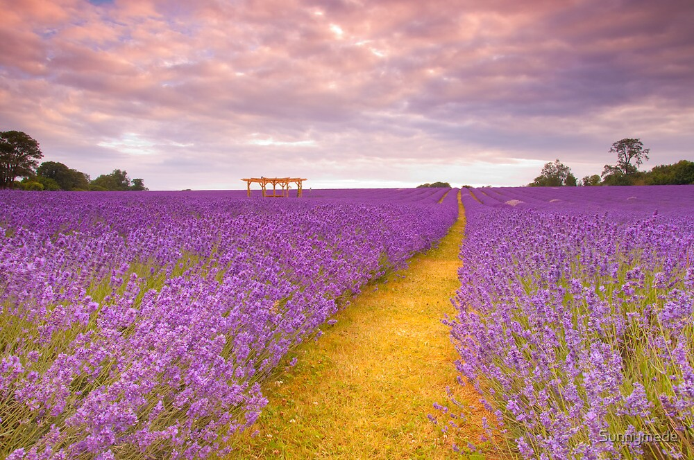 Lavender Field by Sunnymede
