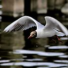 gull by SNAPPYDAVE