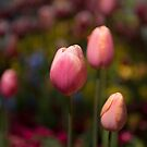 Tulips Flowers by GreyCard