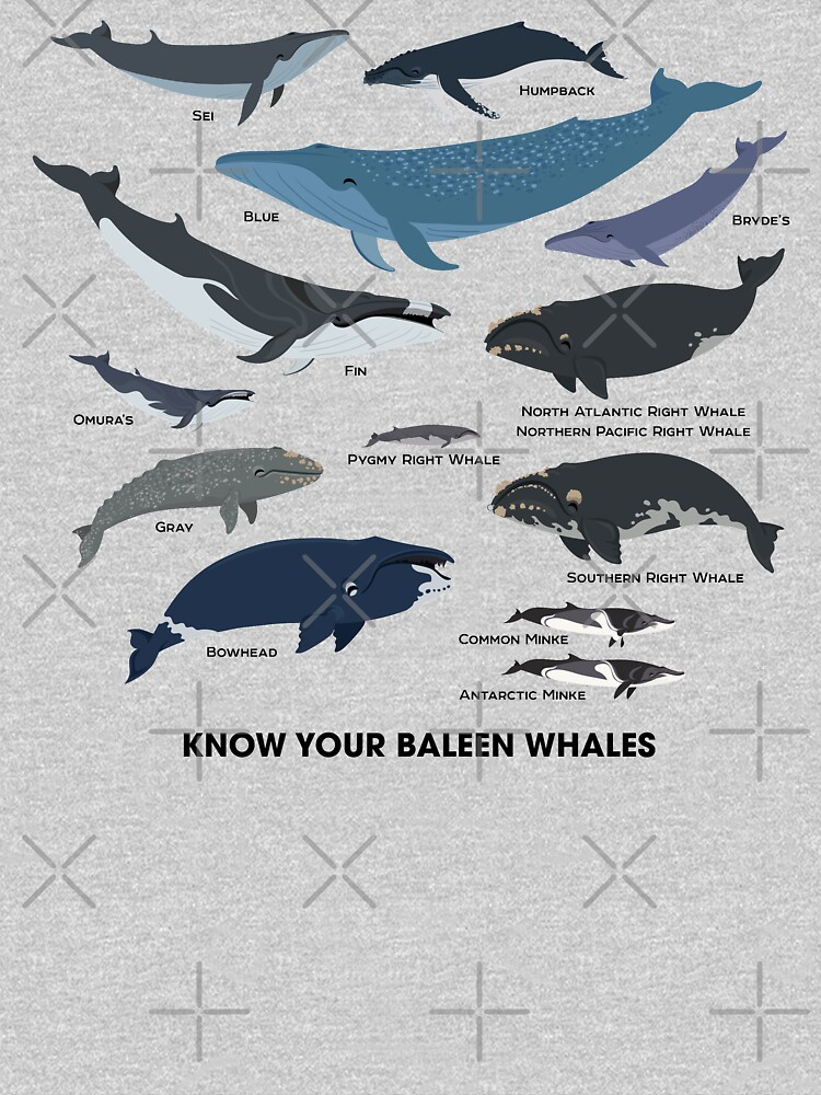 Know Your Baleen Whales by PepomintNarwhal