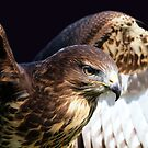 Red-Tailed Hawk by Clive