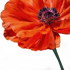 Poppy #3 by Laurie Minor