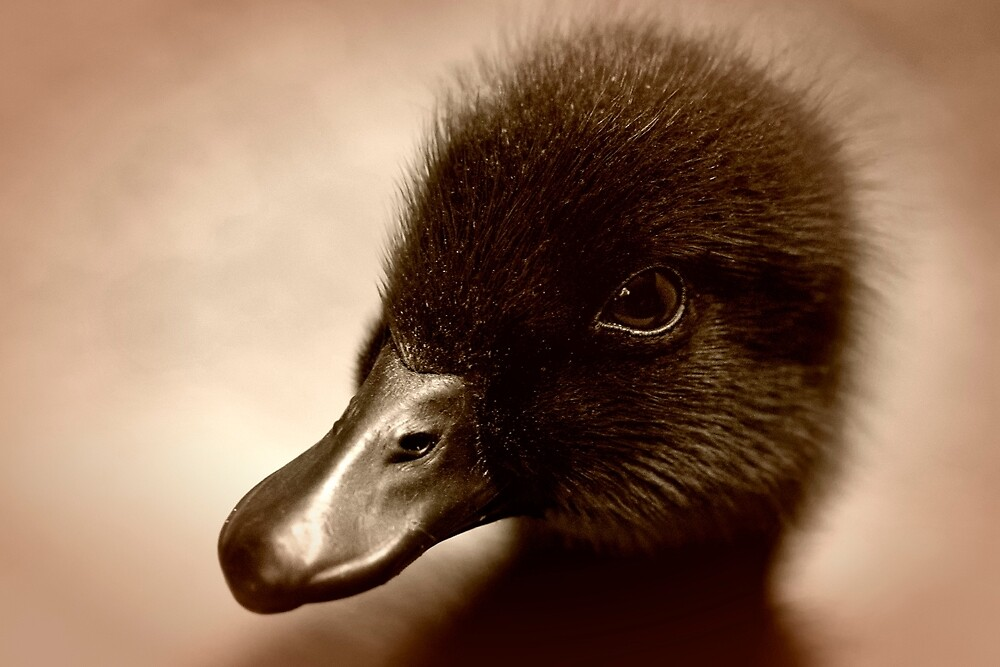 Cayuga Duckling by TeresaB