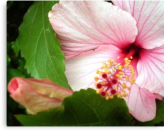 Hibiscus - Friends Spring Garden 2009 by EdsMum