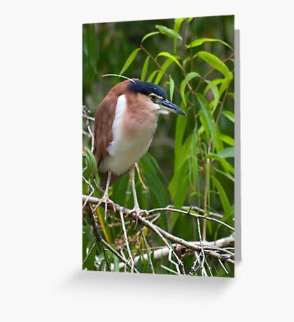 Out on a limb - Nankeen  Night Heron Greeting Card
