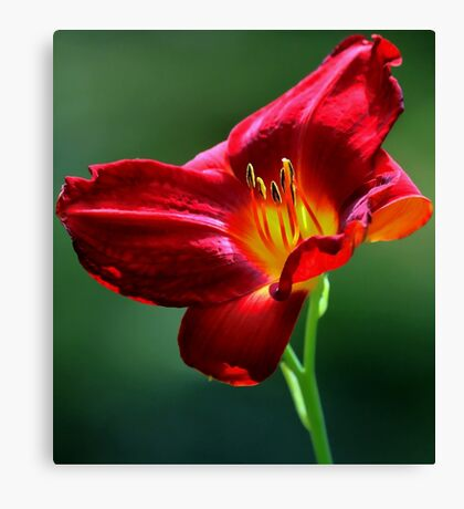 Beauty for a Day (Hemerocallis) Canvas Print