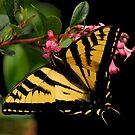 SUMMER SWALLOWTAIL BUTTERFLY by RoseMarie747