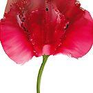 Herz-Garten-Rose von MGStrack