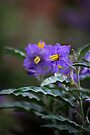 Purple Daze by Vicki Pelham